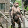 Chimpanzee in zoo — Stock Photo #47539865