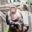 Chimpanzee in zoo — Stock Photo #47542131
