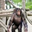 Chimpanzee in zoo — Stock Photo #47550359