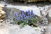 Beautiful flowers growing between stones, outdoors — Stock Photo