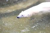 Swimming polar bear — Stock Photo