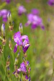 Beautiful irises, outdoors — Stock Photo