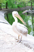 Great White Pelican in zoo — Stok fotoğraf