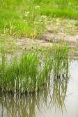 Beautiful green grass in water — Stok fotoğraf