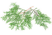 Thuja branch isolated on white — Stock Photo
