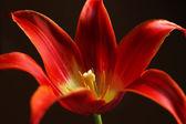 Beautiful red tulip on dark background — Stock Photo