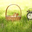 Little cute chickens in wicker basket and alarm clock on green grass, outdoors — Stock Photo #47851097