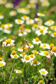 Beautiful daisy flowers in the field — Stock Photo