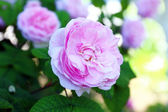 Pink rose in garden — Stock Photo