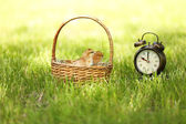 Little cute chickens in wicker basket and alarm clock on green grass, outdoors — Stock Photo