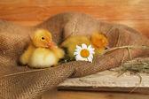 在谷仓里可爱的小鸭子 — Stockfoto