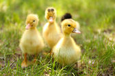 Weinig schattige eendjes op groen gras, buitenshuis — Stockfoto