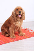 English cocker spaniel on carpet in room — Stock Photo