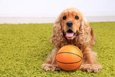 English cocker spaniel on carpet with ball in room — Stock Photo