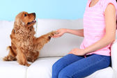 English cocker spaniel gives paw for owner — Stock Photo