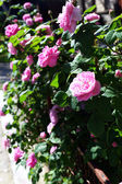 Pink rose in garden — Stock Photo