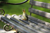 Little cute duckling on bench in the park — Stock Photo