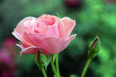 Beautiful pink rose on bright background — Stock Photo