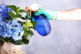 Process of caring for  hydrangea flower  on light background — Stock Photo