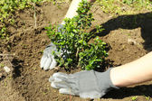 Gardener planting tree in spring — Photo