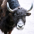 Buffalo in zoo — Stock Photo #47915901