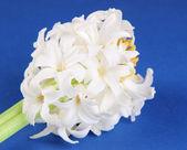 Witte hyacint op blauwe achtergrond — Stockfoto