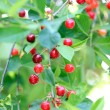 Red cherries on tree branch — Stock Photo