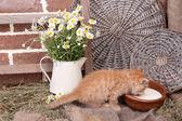 Hübsch kleine rote Katze Konsummilch auf Scheune Wand Hintergrund — Stockfoto