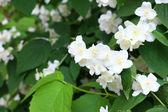 Jasmine flowers in garden — Stock Photo
