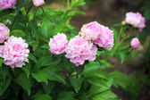 Beautiful pink peonies on green bush in garden — Stock Photo