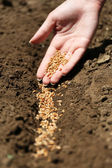 Sowing seeds into soil — Stock Photo