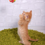 Cute little red kitten on fluffy green carpet, on light wall background — Stock Photo