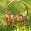 Little cute chickens in wicker basket on green grass, outdoors — Stock Photo #47967461