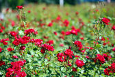 Beautiful red roses on green bush — Stock Photo
