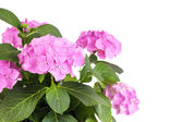 Bouquet of hydrangea close-up isolated on white — Stockfoto