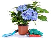 Hydrangea in flowerpot with garden tools isolated on white — Stock Photo