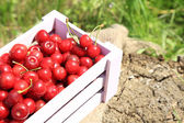 Sweet cherries on crate with sackcloth on glade — Stock Photo