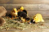 Little cute duckling in barn — Stock fotografie