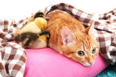 Red cat with cute ducklings on pink pillow close up — Zdjęcie stockowe