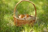 Little cute chickens in wicker basket on green grass, outdoors — Stock fotografie