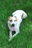 Funny big alabai dog, outdoors — Stock fotografie
