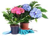 Hydrangeas in flowerpots with garden tools isolated on white — Stock Photo