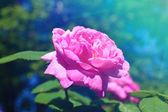 粉红色的玫瑰花园 — 图库照片
