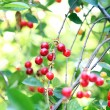 Red cherries on tree branch — Stock Photo #48032553