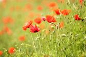 Poppy flowers, outdoors — Stock Photo