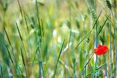 Beautiful poppy flower in field — Stock Photo