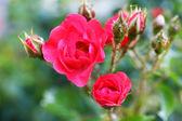 красивые розы в саду — Стоковое фото