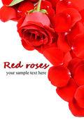 Krásné červené slunečnice izolovaných na bílém — Stock fotografie