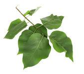 Krásné zelené větvičky izolovaných na bílém — Stock fotografie