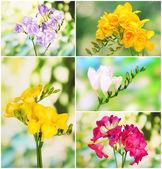 Collage of beautiful  freesias — Stock Photo